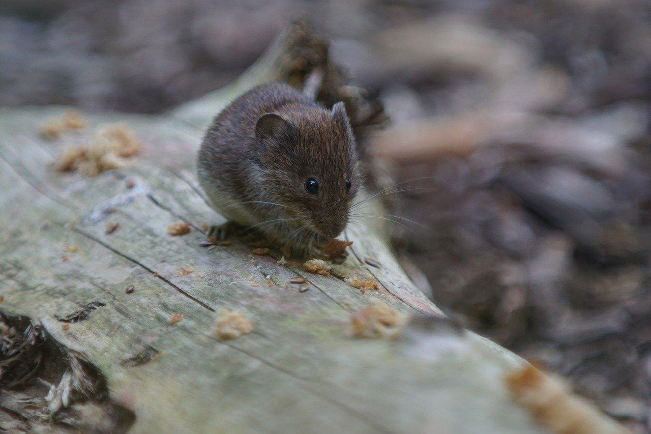 Comment se débarrasser des souris dans le jardin ?